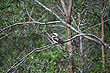 Kookaburra  photo