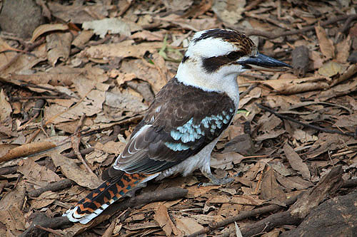 Kookaburra photos