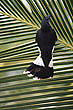 Pied Currawong  photo