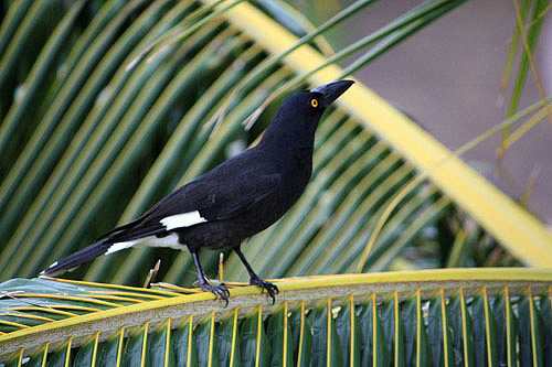 Pied Currawong photos