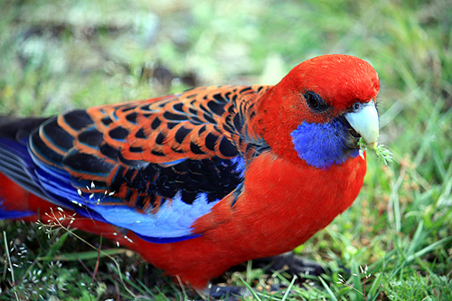 Rosella photos