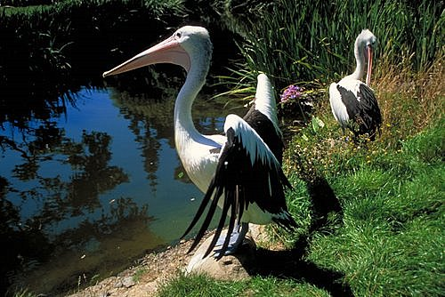 Australian Water Bird photos