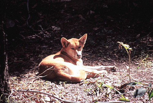 Dingo photos