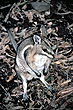 Wallaby photo