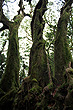 Antarctic Beech photo