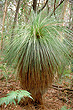 Grass Tree photo