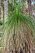 Grass Tree Leaves photo