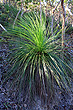 Young Grass Tree photo