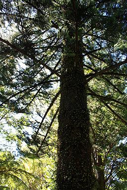 Mature hoop pine photo for Mature pine trees