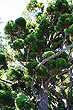 Oyster Bay Pine photo
