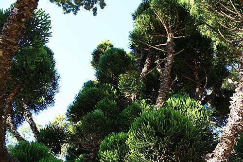 Oyster Bay Pine Tree Photo