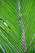 Palm Frond photo