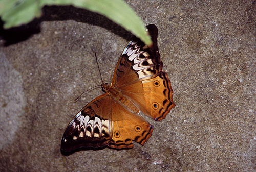 Female Cruiser Butterfly photo