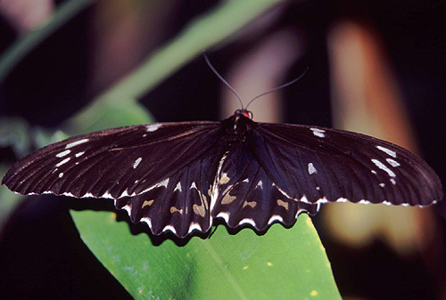 Female Common Australian Crow Butterfly photo