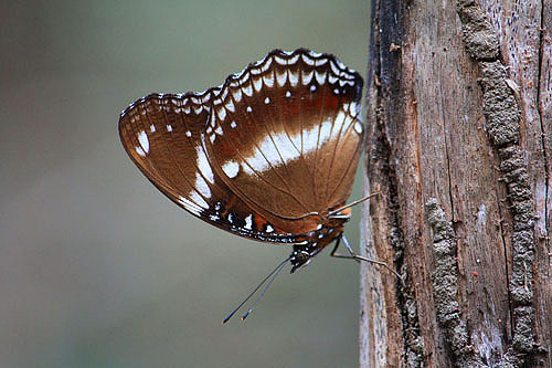 Common Eggfly photos