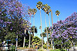 Palms and Jacarandas in Napier photo
