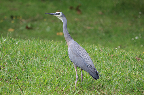 New Zealand Heron photos