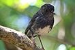 North Island Robin photo
