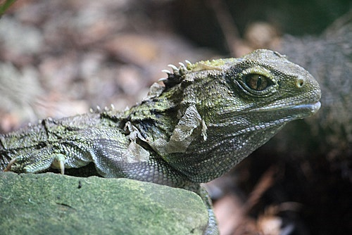 Tuatara photos