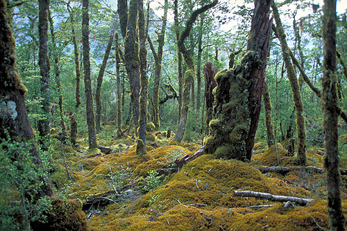 New Zealand Beech Rainforest photos