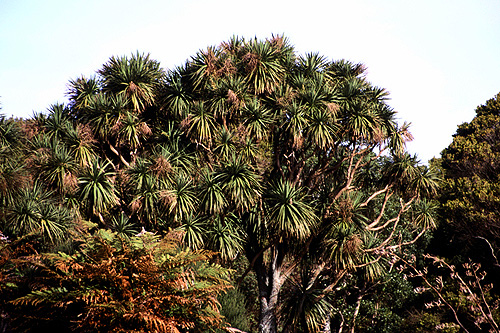 Cabbage Tree photos