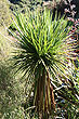 Young Cabbage Tree photo