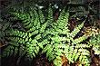 Planta Helechos foto