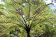 Tree Fern foto