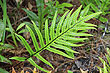 New Zealand Fern photos