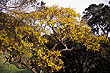Kowhai Tree photos