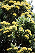Yellow Pohutukawa Tree photo