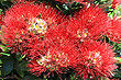 Pohutukawa Blossums photo