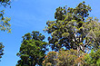 Northern Rata photo