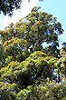 Northern Rata Tree photo