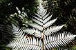 Silver Fern photos
