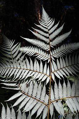 Silver Fern photo