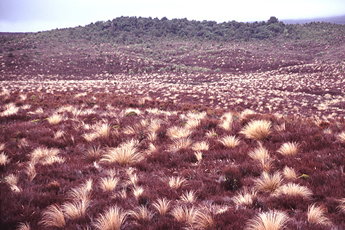Tussock photos