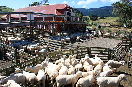 Sheep Industry photos
