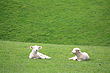 New Zealand Lambs photo