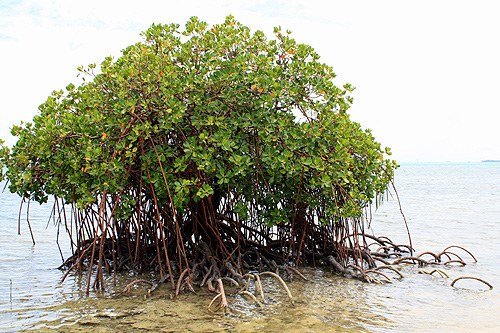 Coastal Plants of Tonga photos