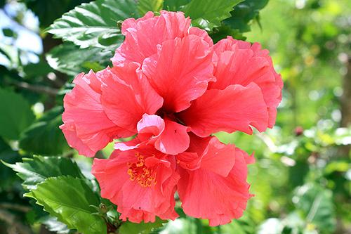 tonga flora photos