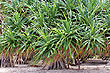 Pandanus Palms photo