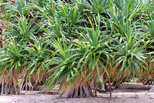 Pandanus of Tonga photos