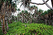Pandanus Palm Forest photo